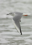 Bonaparte's Gull Winter Adult