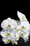 white_orchids