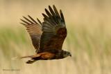 raptors and owls... roofvogels en uilen