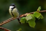 warblers and tits.... zangers en mezen