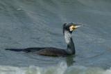 storm-petrel, cormorant, gannet, pelican, albatross.... stormvogels, aalscholver, jan van gent, pelikanen, albatros