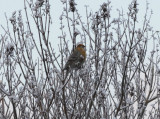 Pine Grosbeak ( Tallbit )