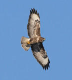 Common Buzzard ( Ormvråk )