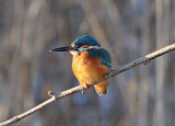 Common Kingfisher ( Kungsfiskare )