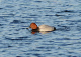 Common Pochard ( Brunand )