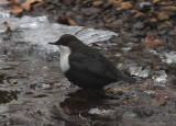 White-throated Dipper ( Strömstare )