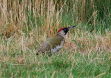 European Green Woodpecker ( Gröngöling )