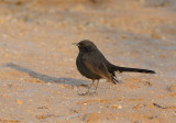 Black-Bush Robin in Yotvata