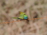 Little-green bee-eater