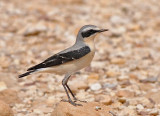 Common wheatear