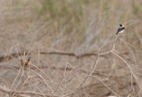 Rufous-bush-robin and a male Black-eared wheatear