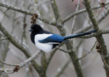 Common Magpie ( Skata )