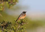 Common Redstart ( Rödstjärt )