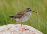 Common Redshank ( Rödbena )