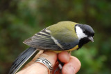 Great Tit ( Talgoxe )