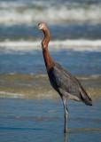 Reddish Egret...