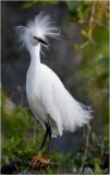 Snowy Egret (Regal Portrait)