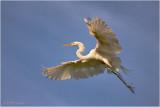 Great Egret in Flight...