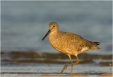 Willet in First Morning Light...
