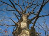 Majestic White Oak