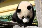 Fu Long, the little Panda boy
