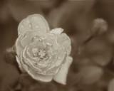 5/11/08 - Monochrome Rose