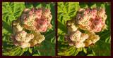 z DPP v ACR IMG_0039 Rhubarb plant - via ACR into CS5.jpg