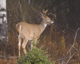 zP1020683 Deer in woods near North Fork of Flathead River.jpg