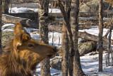 zP1030891 Lady elk in aspen grove in RMNP C2.jpg