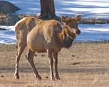 zP1030907 Elk expecting.jpg