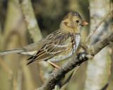 1670m_harris_sparrow