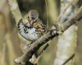 harris's sparrow BRD3544.jpg