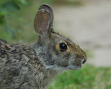 cottontail rabbit BRD5419.jpg