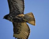red-tailed hawk BRD6161.jpg