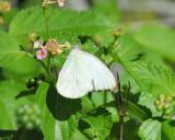 cabbage_butterfly_BRD3081.jpg
