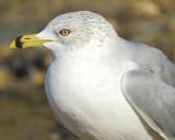 ring-billed gull BRD8339.jpg