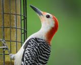 1430_woodpeckers