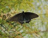 black swallowtail BRD3027.jpg