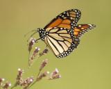 5005_monarch