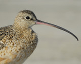 long-billed curlew BRD0881.jpg