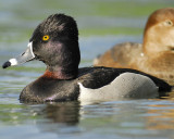 1090q_ring_necked_duck
