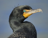 1050c_double_crested_cormorant
