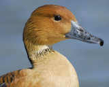 1090a_fulvous_whistling_duck