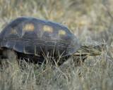 texas tortoise BRD2908.jpg