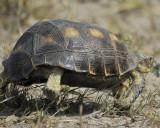 texas tortoise BRD2915.jpg