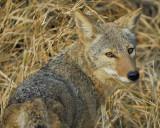 3005i_coyote