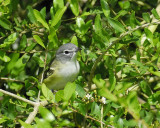 1590e_blue_headed_vireo