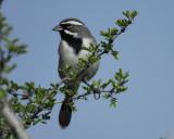 1670t_black_throated_sparrow
