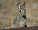 cottontail rabbit BRD4203.jpg