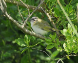 1590d_red_eyed_vireo